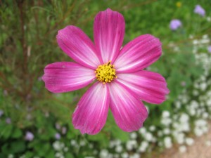 Aster Pink Flower 300x225 The Prophets Da`wah Methodology (Part 3)