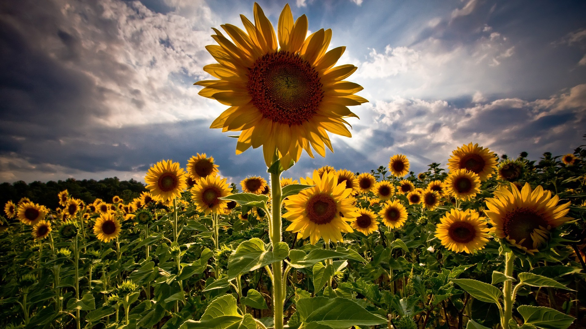 sunflowers-nature