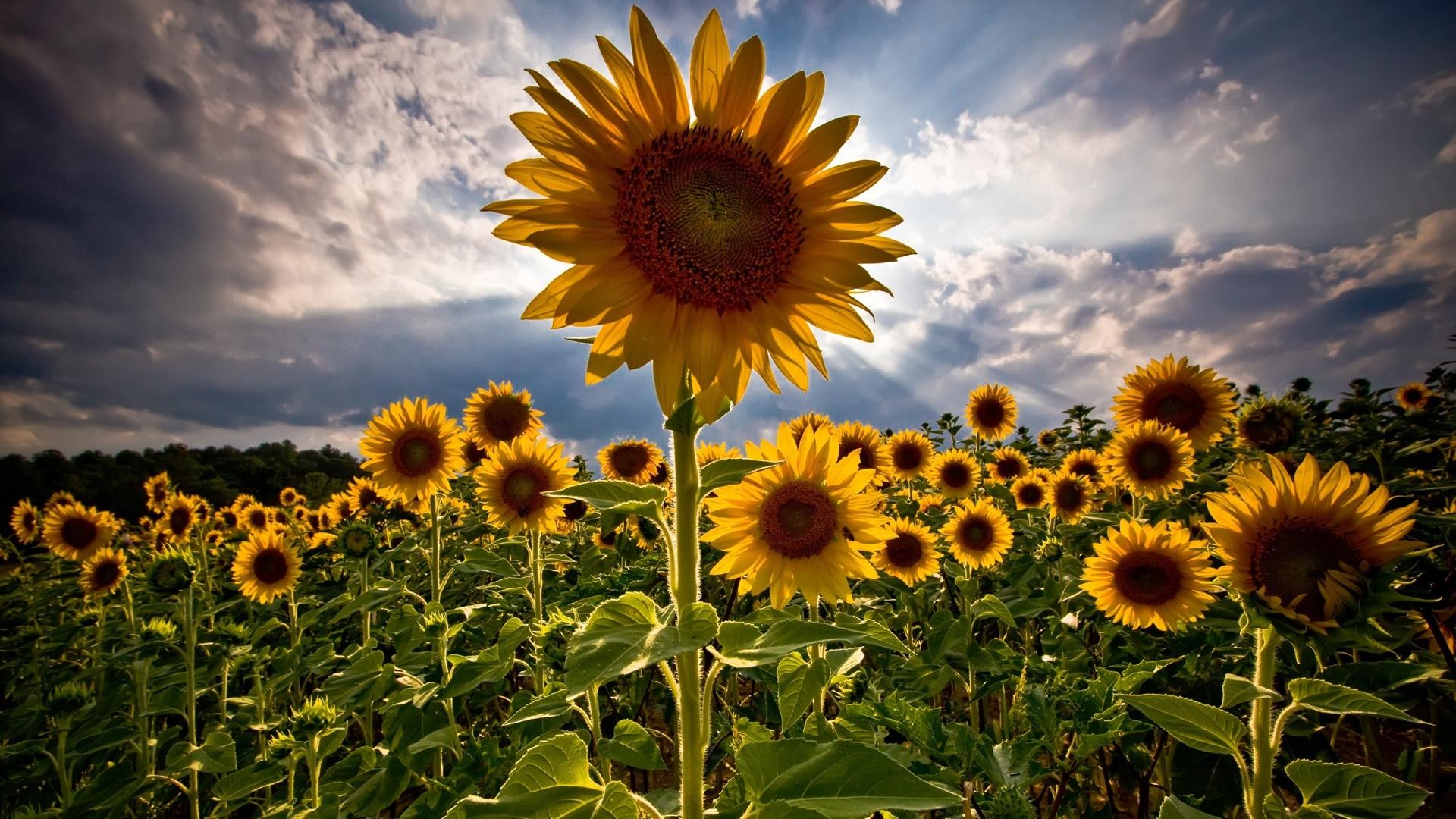 sunflowers-nature
